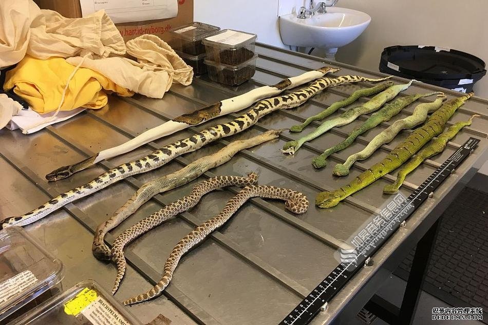 海关鞋盒中查获毒蛇蜘蛛和蝎子 网友:感觉看到的是假蛇